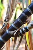 Sugarcane Stock Photography