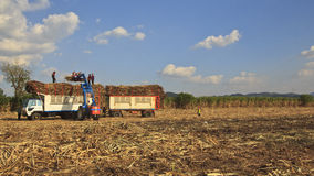 Transporting the cane. Sugarcane truck with full load in the field stock images