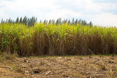 Sugarcane. Used for sugar thailand Stock Photography