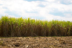 Sugarcane. Used for sugar thailand Stock Photo