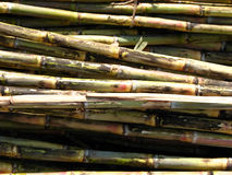 Sugarcanes. Stacked up in a farm to be sent for further processing in a sugar mill Stock Photography