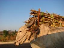 sugarcanetransport Royaltyfri Bild