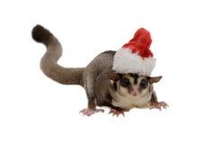 Sugargleder wearing red Santa Claus hat. Stock Images