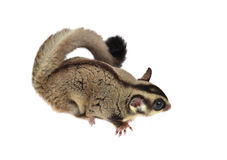 Sugarglider Royalty Free Stock Images