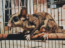 Sugarglider immagine stock