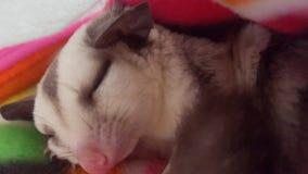 Sugarglider de sommeil Images libres de droits