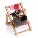 Sugarglider sitting on the beach chair. Royalty Free Stock Photo