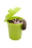 Sugarglider in trash bin. Stock Images
