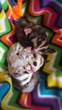 Sugar glider trio family royalty free stock photo