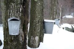 Sugaring In Vermont. Tapping a maple tree for sugar in Vermont Royalty Free Stock Photo