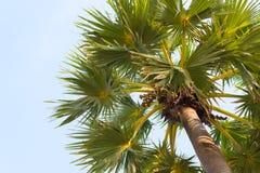 Sugarpalm met blauwe hemel Royalty-vrije Stock Afbeeldingen