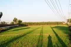 Sugecane-Felder mit Schatten Stockfotos
