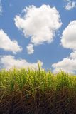 Suger Cane Field Stock Photos
