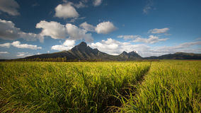 Sugercane-Felder bei Mauritius stockfoto