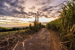 Sugercane Royalty Free Stock Images