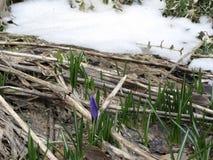 Suggerimento della primavera - croco che alzano attraverso la terra Fotografia Stock