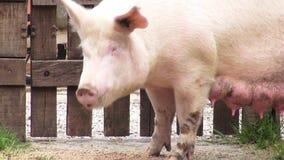 Suggor svin, kvinnliga svin, mödrar arkivfilmer