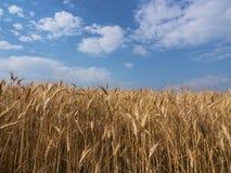 Sugrör för guling för vetefält sädes- åkerbrukt Royaltyfri Bild