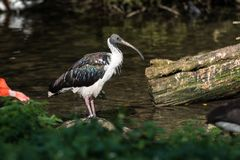 Sugrör-hånglad ibis, Threskiornisspinicollis i zoo royaltyfri fotografi