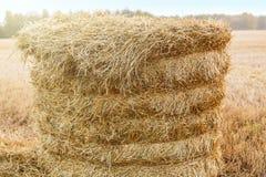 Sugrörbunt i fältet i nedgången Royaltyfria Foton