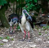 Sugr?r-h?nglad ibis, Threskiornisspinicollis i zoo arkivfoton