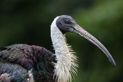 Sugr?r-h?nglad ibis, Threskiornisspinicollis i zoo arkivbild