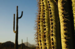 suguaro κάκτων Στοκ Εικόνες