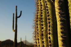 suguaro кактусов Стоковые Изображения