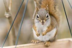 Suiças do esquilo Foto de Stock