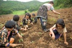 Sui bambini del fianco di una montagna del gruppo etnico di Hmong, diverta piantando il cavolo Fotografia Stock