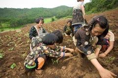 Sui bambini del fianco di una montagna del gruppo etnico di Hmong, diverta piantando il cavolo Immagini Stock