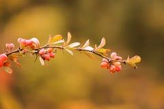 Sui rami di frutta matura Fotografia Stock