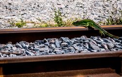 Suicidio o instabilità dell'iguana? immagine stock libera da diritti