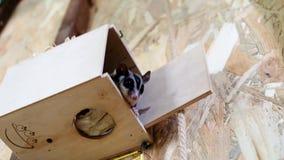 Suiker het vliegen opossum in contactdierentuin Australische vliegende eekhoorn stock videobeelden