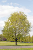 Suikerahornboom Royalty-vrije Stock Foto's