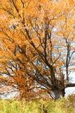Suikerahornen met briljante oranje bladeren Royalty-vrije Stock Foto