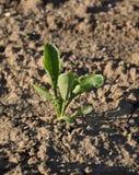 Suikerbietinstallatie (Bèta vulgaris subsoort vulgaris) Royalty-vrije Stock Foto's
