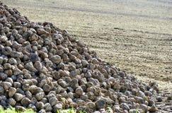 Suikerbietstapel bij het gebied na oogst Stock Fotografie