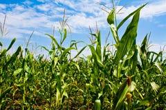 Suikermaïsgebied Stock Foto's