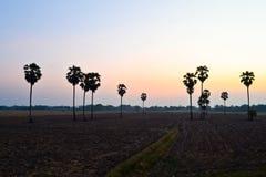 Suikerpalm bij zonsondergang Stock Afbeeldingen