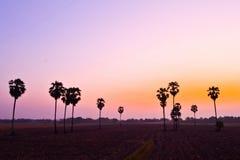 Suikerpalm bij zonsondergang Stock Foto