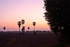 Suikerpalm bij zonsondergang Stock Afbeelding