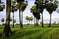 Suikerpalm en groen gebied stock afbeeldingen