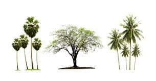 Suikerpalm en kokospalm en Indische die jujubeboom op witte achtergrond wordt geïsoleerd stock foto's
