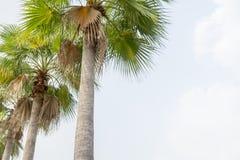 Suikerpalm groen en mooi in tuinaard Stock Afbeeldingen