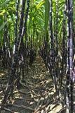 Suikerriet Royalty-vrije Stock Afbeeldingen
