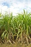 Suikerriet Stock Afbeelding