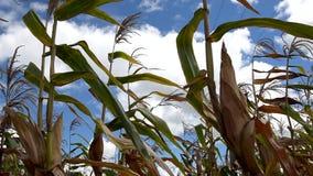 Suikerriet stock videobeelden