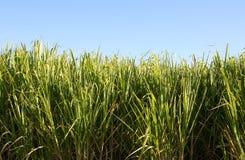 Suikerriet Stock Afbeeldingen