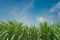 Suikerriet met blauwe hemel Stock Fotografie